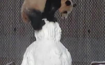 Панда в Торонто подралась со снеговиком