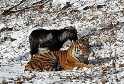 В Приморском сафари-парке подружились тигр и козел